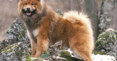 eurasier robe sable
