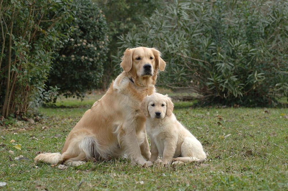 femelle golden retriever et son petit