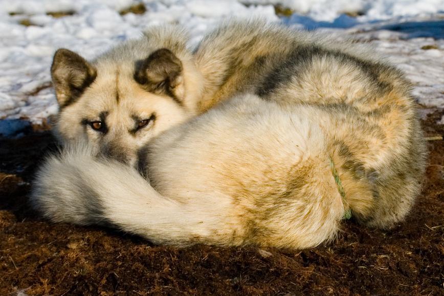 groenlandais en position pour dormir