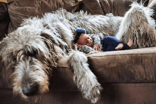 lévrier irlandais allongé sur le lit avec un bébé qui dort sur son ventre