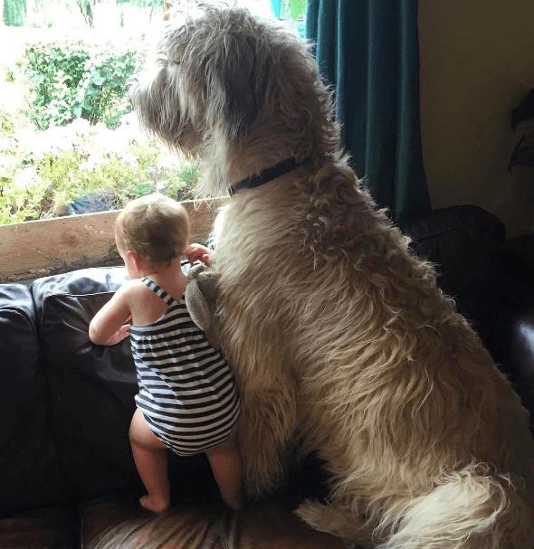 lévrier irlandais et bébé regardent par la fenêtre