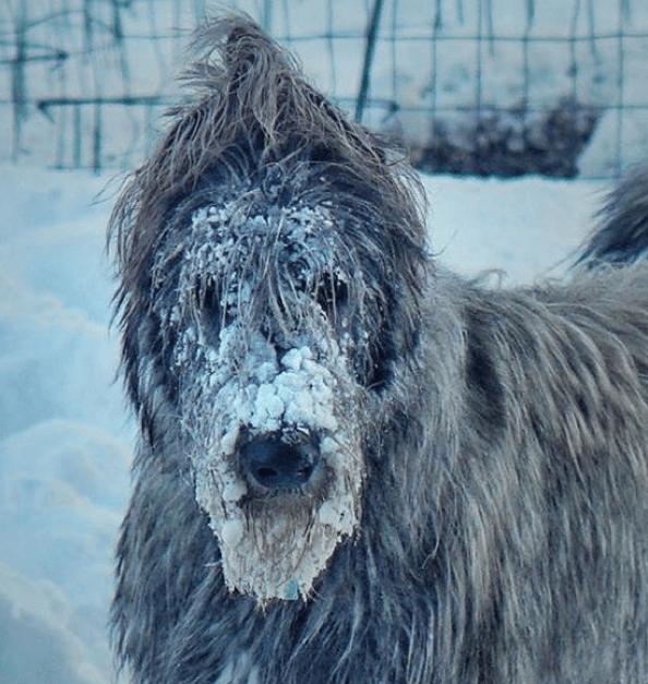 lévrier irlandais la tête pleine de neige