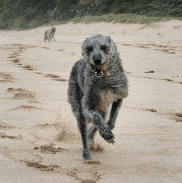 lévrier irlandais qui court sur le sable d'une plage ventée