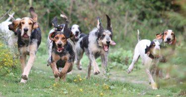 meute de chiens courants
