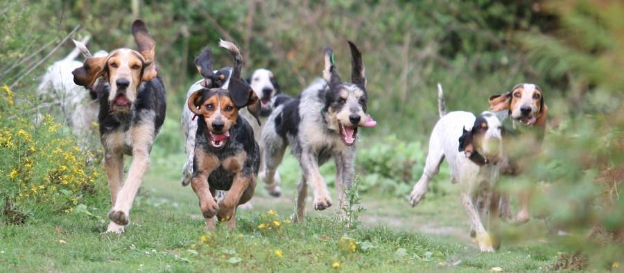Chien courant : pour la chasse, ce chien de traque est un