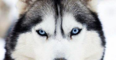 yeux du chien
