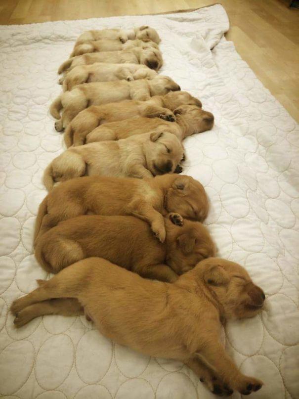 11 chiots golden retriever qui dorment les uns à côté des autres
