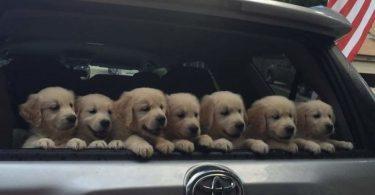 7 chiots golden retriever dans le coffre de voiture