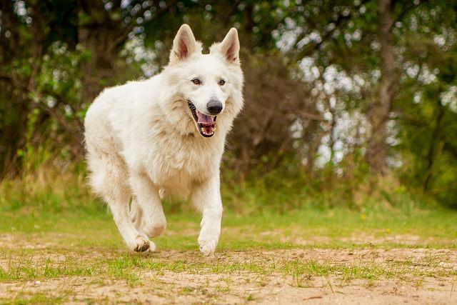 chien de berger et loup