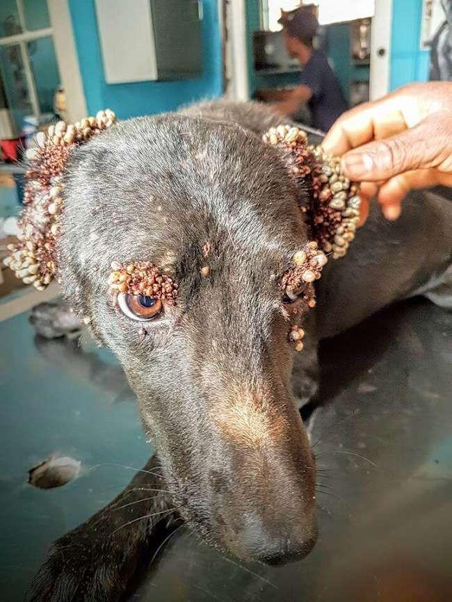 chien infesté de tiques