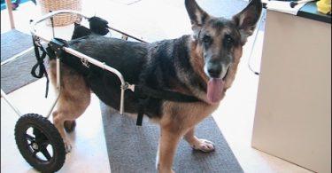 dysplasie de la hanche chez le chien