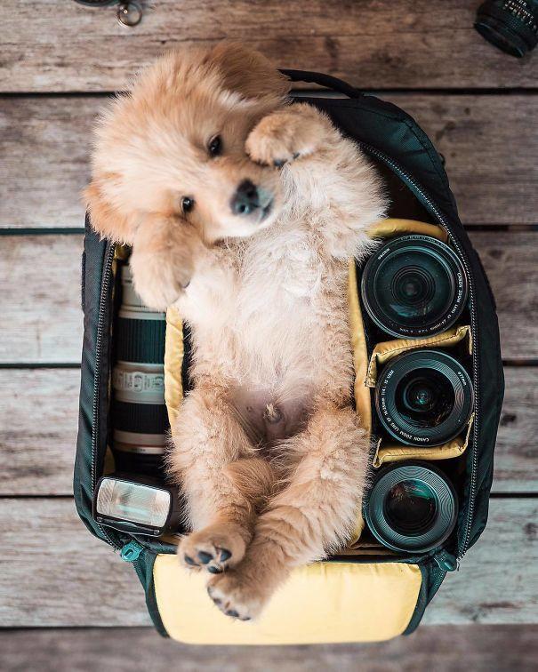 chiot golden retriever couche sur le dos dans le sac du photographe