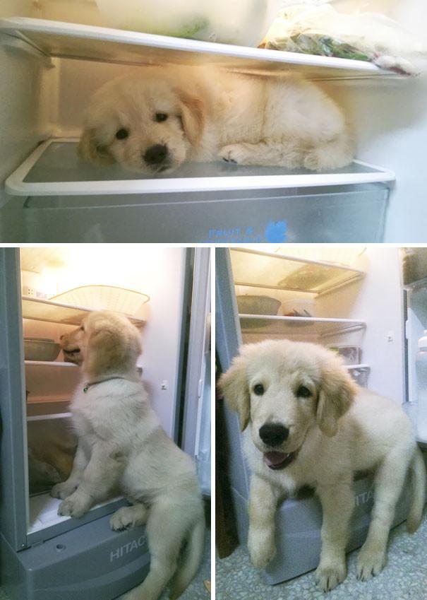 chiot golden retriever dans le refrigerateur