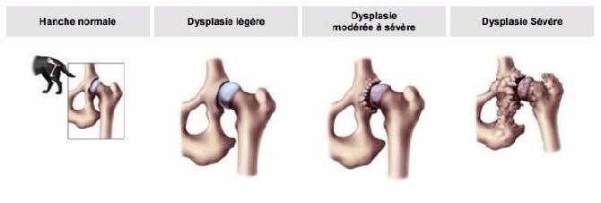 comparaison de la hanche du chien normale avec la dysplasie