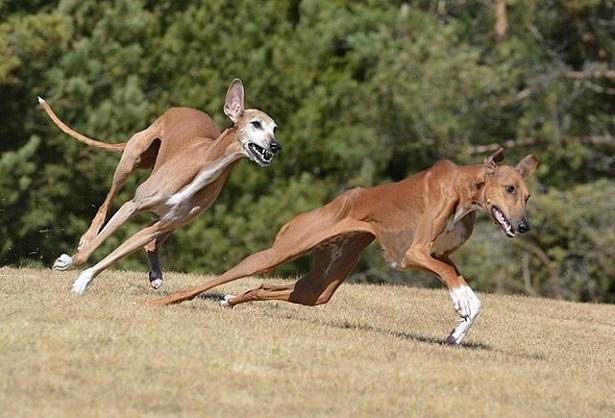 deux azawakh qui courent
