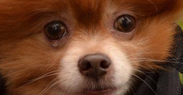 chien qui pleure