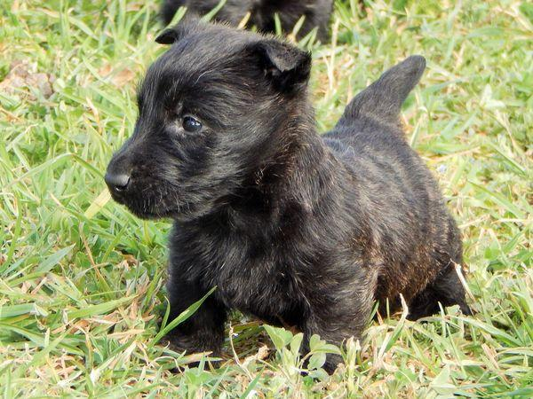 chiot scottish terrier