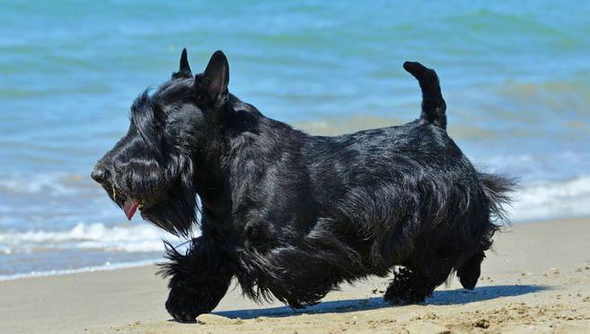 scottish terrier qui court