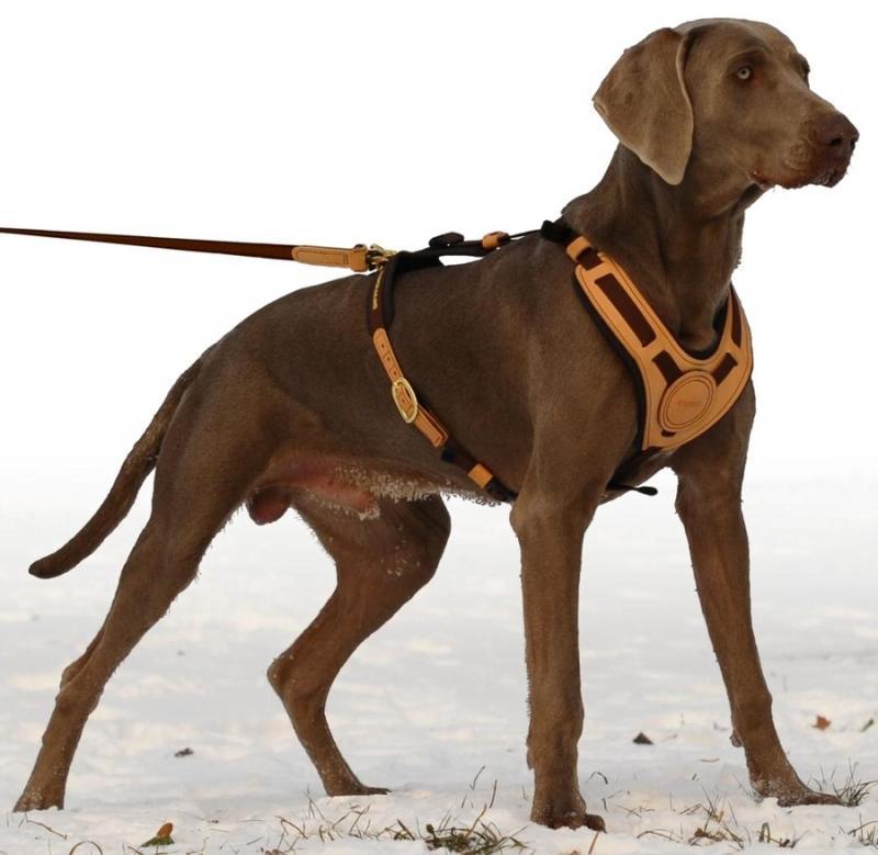 chien qui tire avec harnais