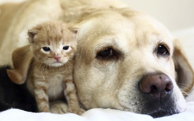 labrador et chat