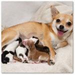 reproduction du chien