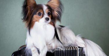 quels sont les petits chiens à poils longs
