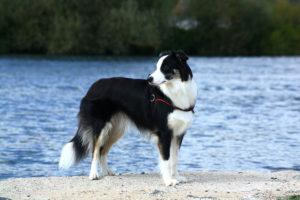 Chien de berger : Border collie