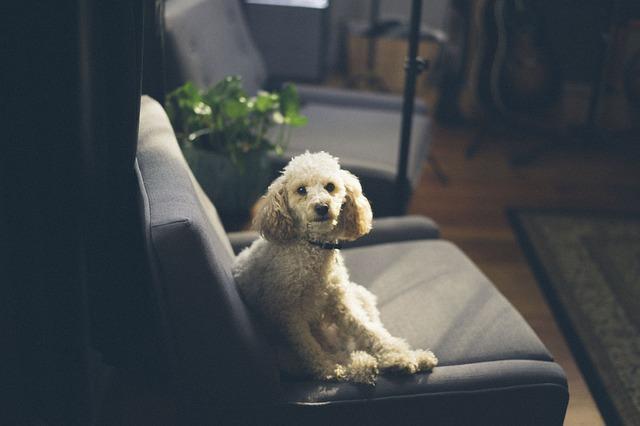 races de chien d'appartement