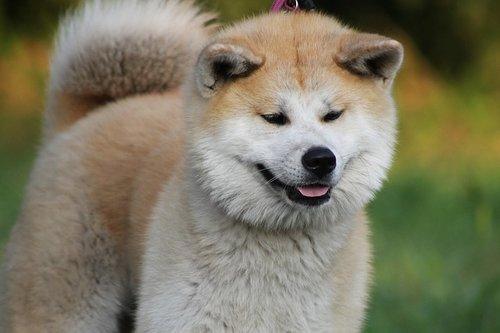 Chiens japonais : Akita inu