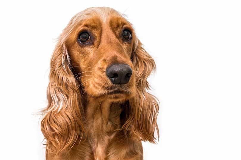 chien race cocker anglais