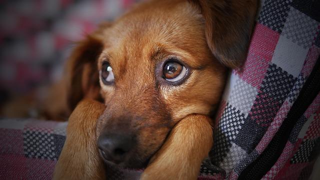 chien qui tousse