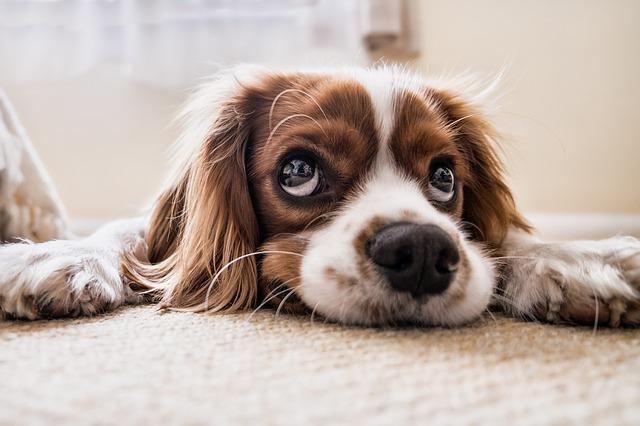 litiere pour chiot ou chien