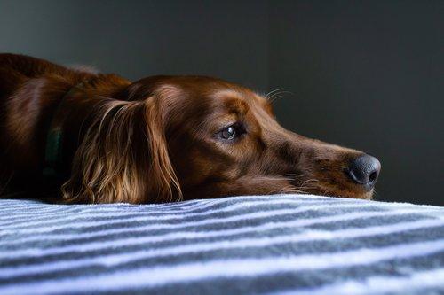 Chimiothérapie ou radiothérapie pour chien