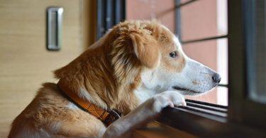 anxiété de séparation chez le chien
