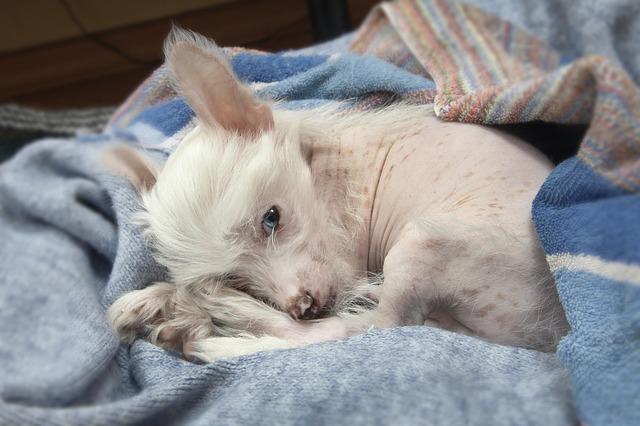 chiens qui ne perdent pas leurs poils : chien nu chinois