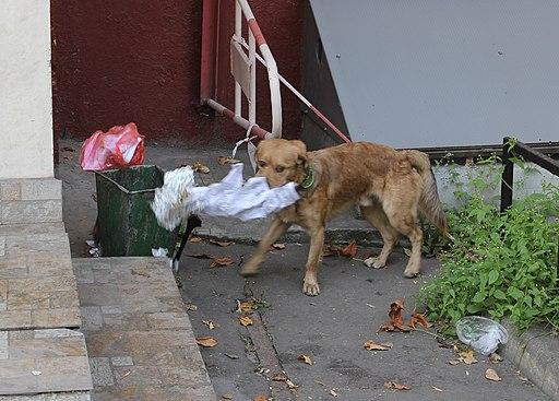 Chien qui mange dans une poubelle