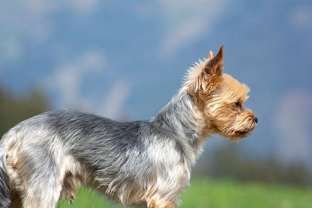 chiens qui ne perdent pas leurs poils : Yorkshire