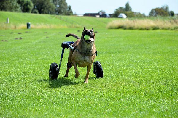 Chariot pour chien handicapé