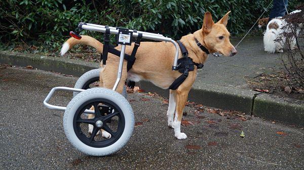 Chariot pour chien handicapé, pattes arrière