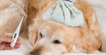 fièvre chien mesurer température