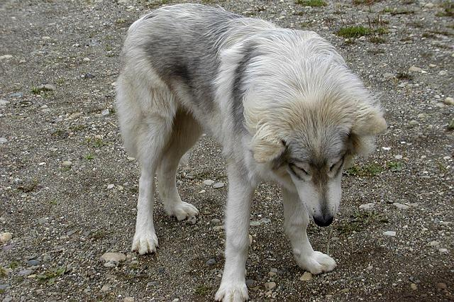 Le Chien-loup américain