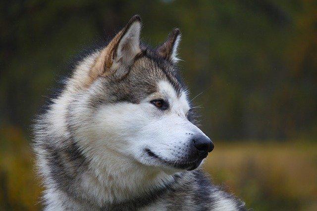 Le Malamute d'Alaska, chien qui ressemble au loup
