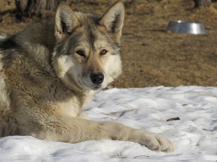 Chiens loups races