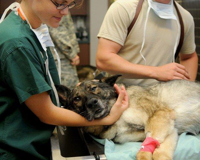 soigner une plaie chez le chien