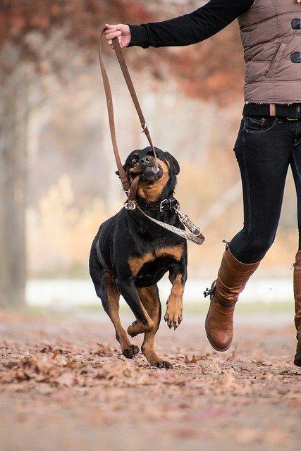 Empêcher son chien de mordre la laisse
