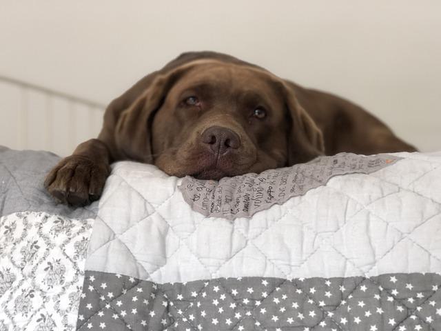races prédisposées à la maladie de Cushing : le Labrador