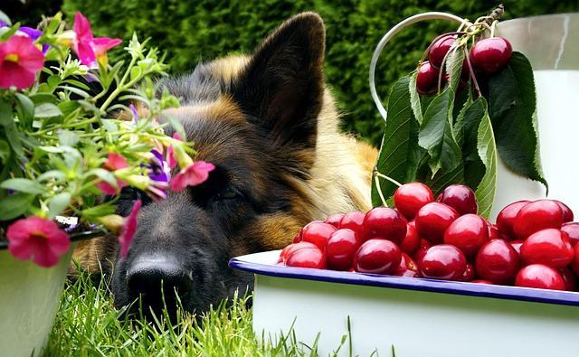 chien fruits toxiques