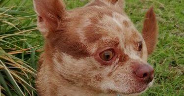 problèmes oculaires chien